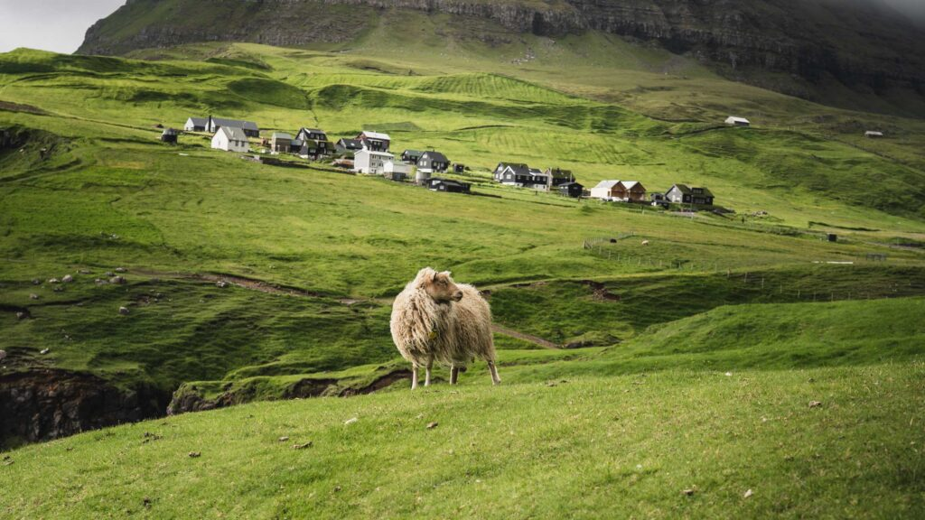 Gasadalur village and sheep
